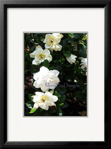 Photo -- MORNING GARDENIAS Fine Art Photograph Tropical Flowers 8 x 10 Print Fits an 11 x 14 Inch Frame FREE US SHIPPING