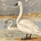 Allan Brooks and Trumpeter Swans 1930 Natural History Bird Lithograph