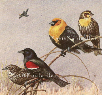Vintage 1930 Allan Brooks Natural History Bird Lithograph, Blackbirds