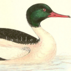 Antique Victorian Goosander 1895 FO Morris Hand Colored Natural History Engraving