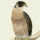 1895 Victorian Hand Colored Natural History Engraving ~ Peregrine Falcon