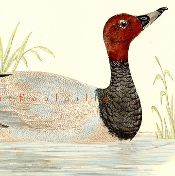 1895 Victorian Hand Colored Natural History Engraving ~ The Pochard Duck