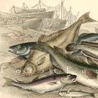 1856 Victorian Natural History Chromolithograph ~ Salt Water Fishes