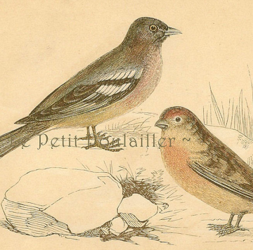 1850 Victorian Natural History Engraving ~ Chaffinch and Redpole