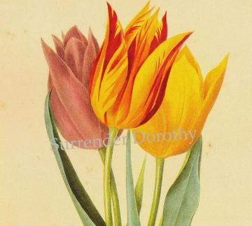 Painted Tulips Redoute Flower Litho To Frame