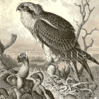 Osprey and Young 1894 Victorian Natural History Bird Engraving