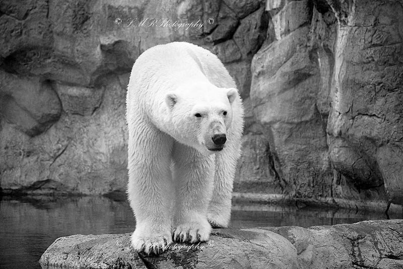 Black And White Bear : Polar bear black and white