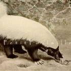 1930 Louis Agassiz Fuertes Natural History Litho ~ Skunk and Badger