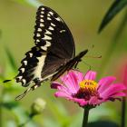 "<div align=""center""><h1><strong>""Swallowtail on Pink photograph"" by <a href=""http://www.zibbet.com/maryellengolden"">maryellengolden</a></strong><br />$25.00<span> USD </span> </h1><a href=""http://www.zibbet.com/maryellengolden/artwork?artworkId=109899""> Click to view more details </a></div>"