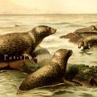 Leopard Seals 1894 Victorian Royal Natural History Engraved Chromolithograph