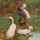 Antique 1930 Allan Brooks Natural History Bird Lithograph, Egrets and Blue Herons