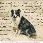 BORDER COLLIE Antique real Black White DOG photo FRENCH SCRIPT postcard DIGITAL SCAN