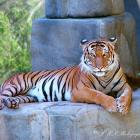 Tiger Photograph, Nature Fine Art Photo, Tiger Print, Fine Art Photograph