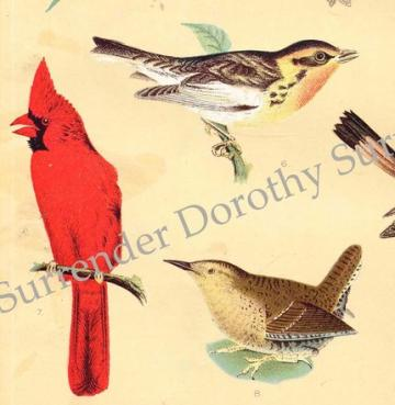 North American Singing Birds 1907 Lithograph Illustration