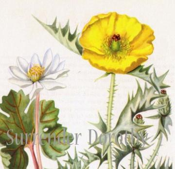 Prickly Poppy and Bloodroot 1950s Botanical Lithograph